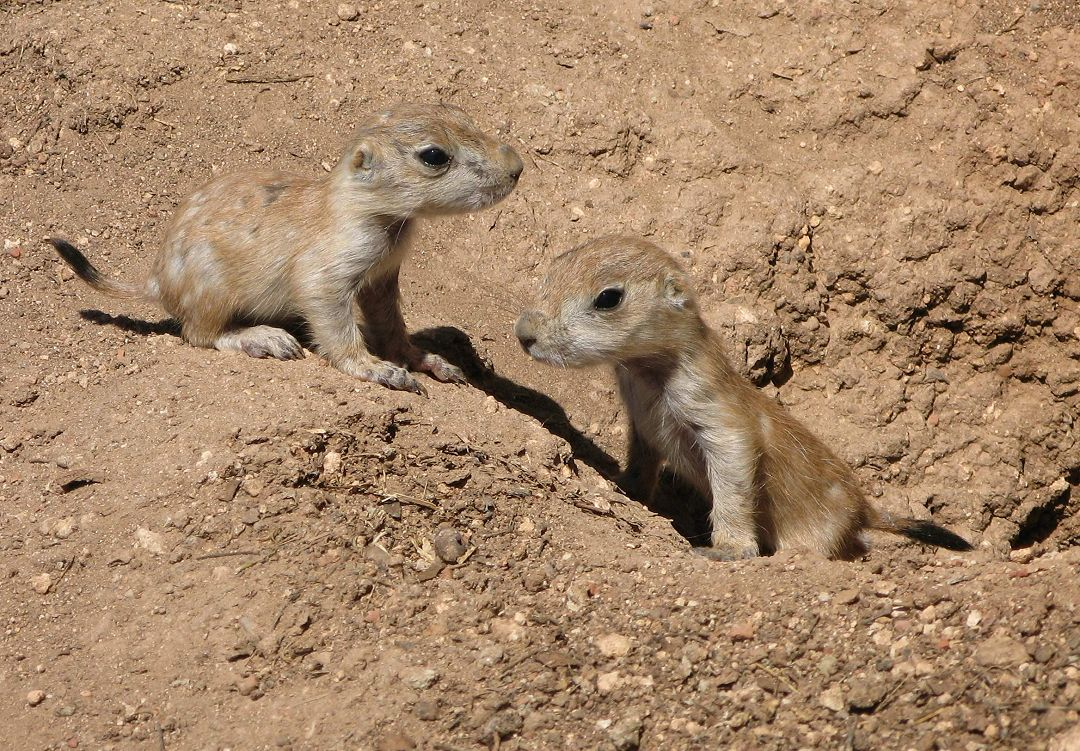 Prairie Dog Babies - Pets and Wildlife Forum
