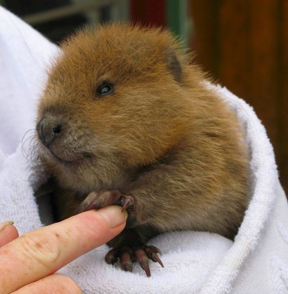 Puppy Education Blog Orphaned Beaver Cottontails