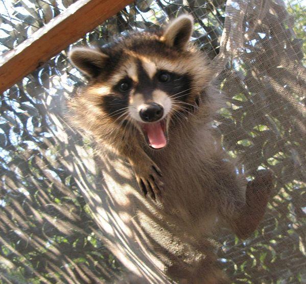 Ian the raccoon