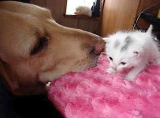 white kitten and yellow lab